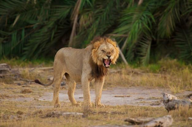 Лев в саванне