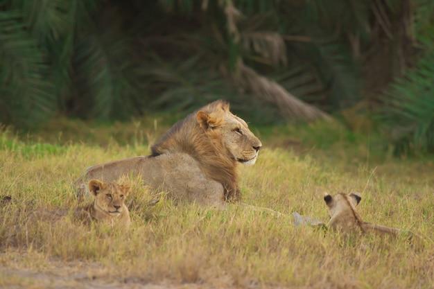 Лев и его детёныши в саванне