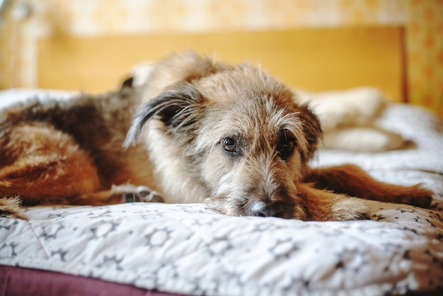 Красивая милая смешная пушистая собака лежит дома на кровати.