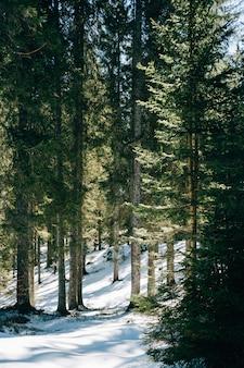 Лес в дневное время с соснами