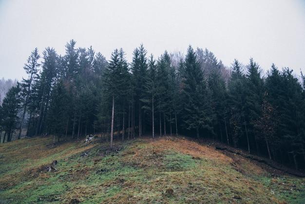 Сосновые леса
