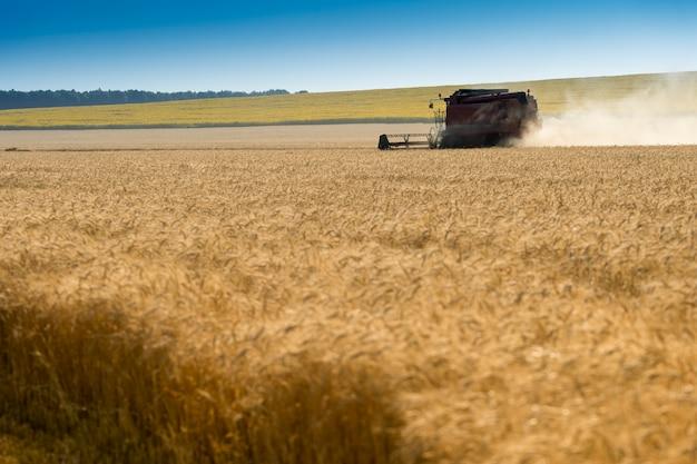 Спелые колосья пшеницы во время сбора урожая на пшеничном поле