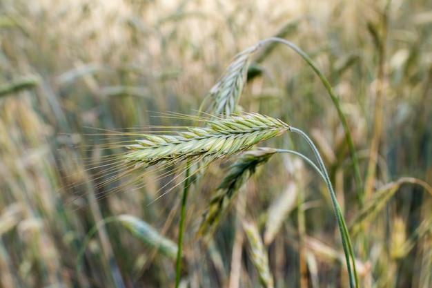 登熟中に収穫する前に夏にフィールドにライ麦の穂