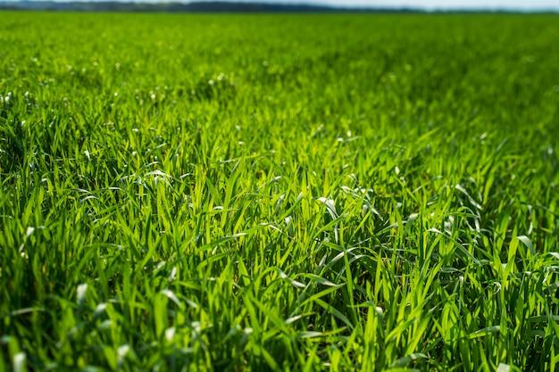 太陽の下で若い麦畑