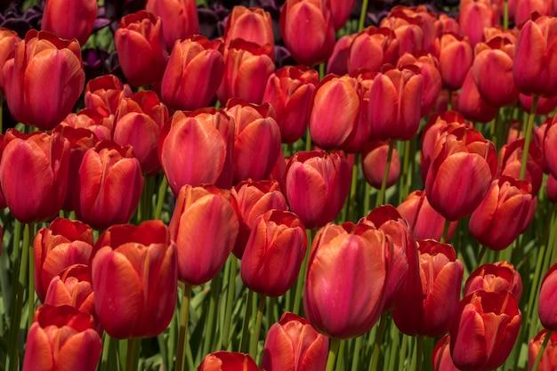花壇に赤いチューリップ。開花中の赤いチューリップの芽のクローズアップ。公園の花の野原