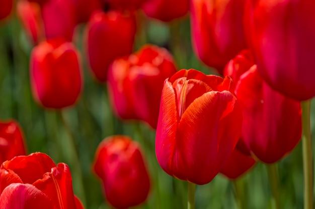 開花中の赤いチューリップの芽のクローズアップ。公園の花の野原