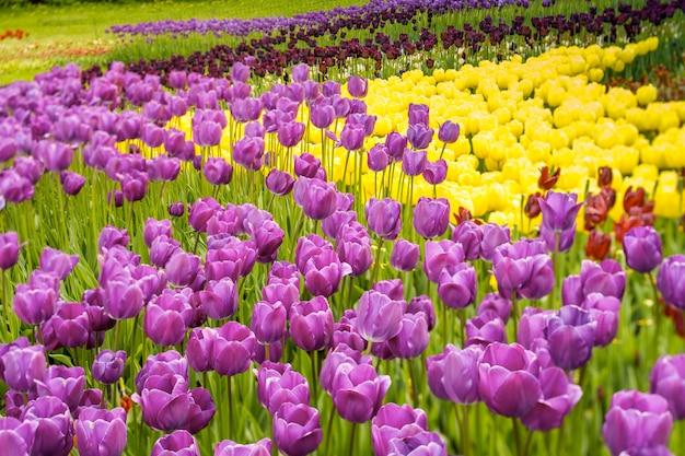 紫のチューリップが咲く畑。庭の花とフィールド
