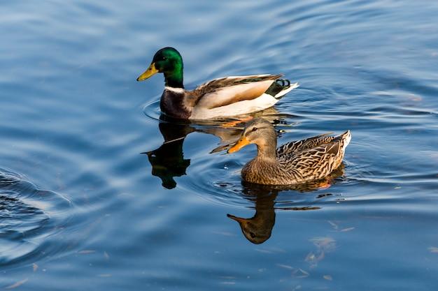 アヒルとドレイクのペアが池で泳いで泳ぐ