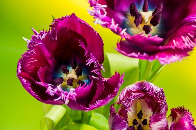 緑の紫のチューリップ