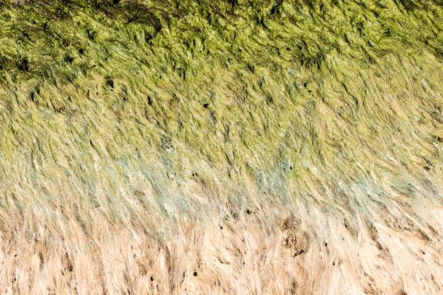 海岸近くの緑の藻