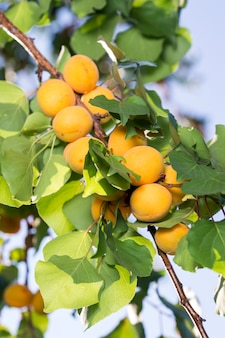 Спелые абрикосы в тени дерева