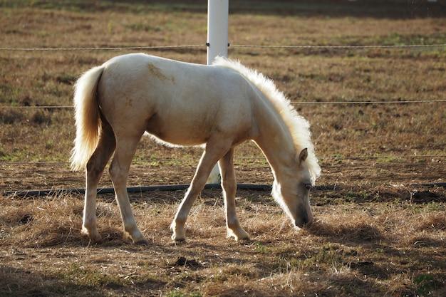 牧場でわらを食べる白い子馬