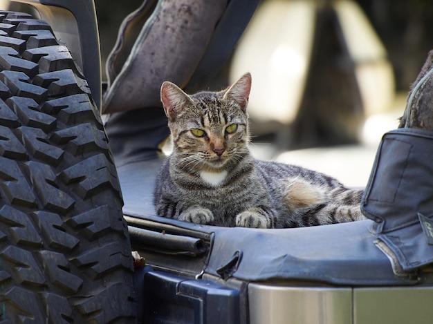 眠そうな猫は車に座っています。