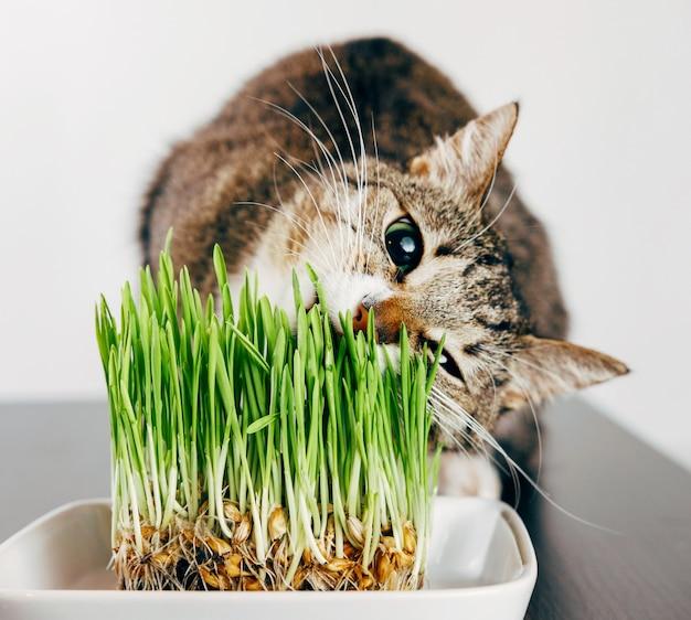 Красивая полосатая кошка ест траву