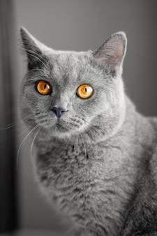 美しいイギリス灰色猫、クローズアップの肖像画