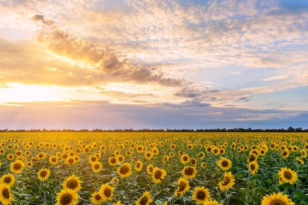 背景の夕日に咲くひまわり畑。