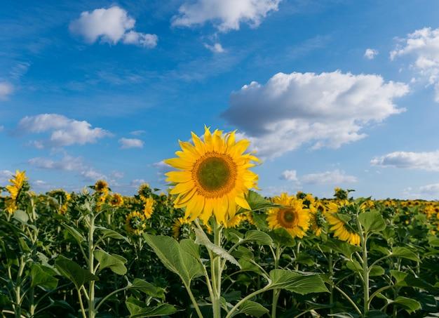 フィールドの自然な背景、咲くひまわりの美しいひまわり。