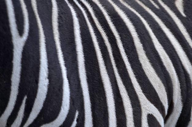 黒と白のストライプ。首とシマウマのたてがみのクローズアップ。