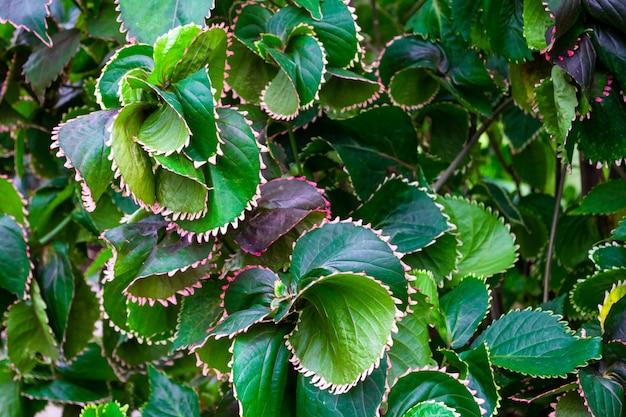 Крупным планом красиво витой зеленых листьев. текстура растений. естественный фон и обои.