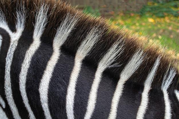 Черно-белые полосы. крупный план шеи и гривы зебры.