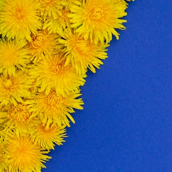 正方形の写真。斜めに横たわる黄色いタンポポ。青色の背景に。テキストのための場所