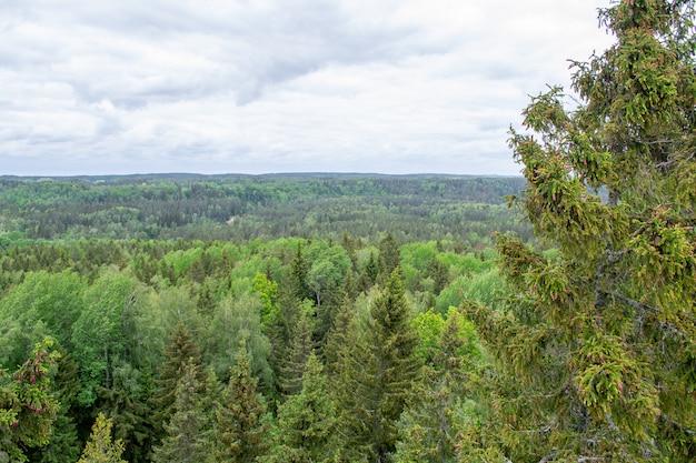 Верхушка сосен. лесной вид сверху. живописный пейзаж