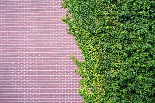 赤レンガの壁に紅葉の庭の野生ブドウ。古い建物の壁に野生のブドウ。