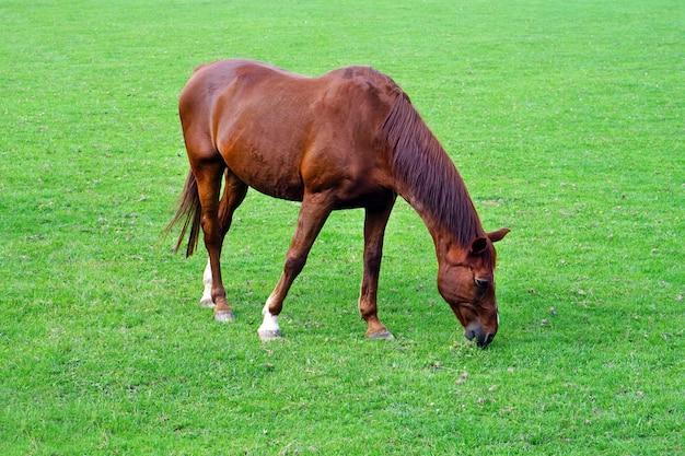 緑の野原に茶色の馬を放牧します。茶色の馬の放牧はフィールドにつながれています。緑の牧草地で食べる馬。