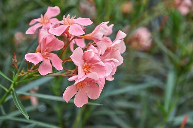 Цветущий куст розового олеандра. олеандр часто используется в ландшафтном дизайне как декоративное растение в регионах с субтропическим климатом.