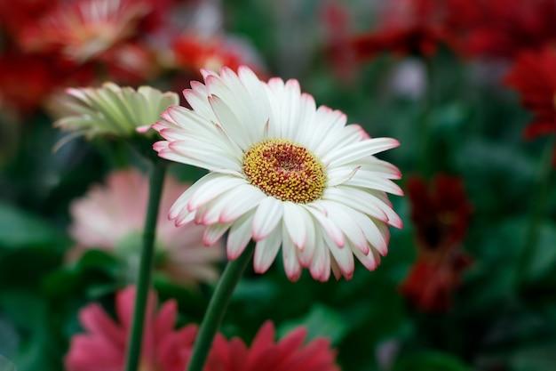 庭、暗い背景の美しい白ピンクのガーベラの花。セレクティブフォーカス。母の日、バレンタインデーのポストカードの画像。
