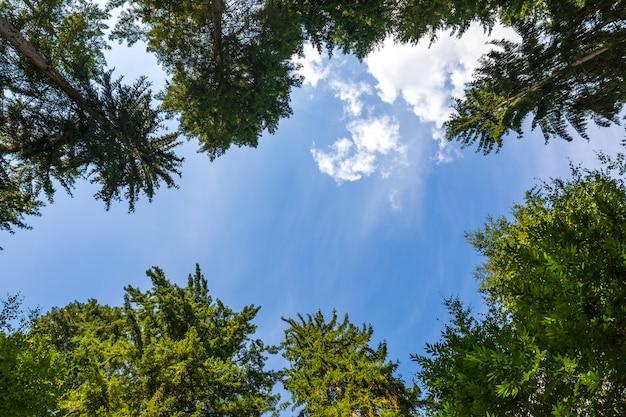 Просматривая верхушки деревьев. красивая естественная рамка деревьев против яркого голубого неба с облаками. копировать пространство