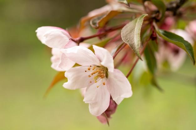 Крупный план розового яблони. изображение для создания календаря, книги или открытки. выборочный фокус.