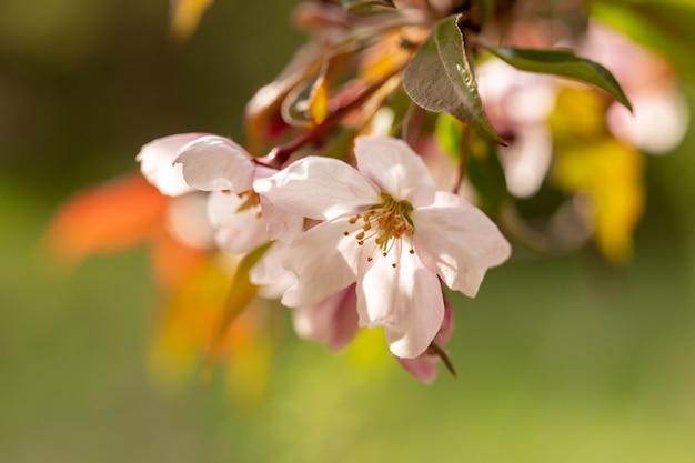 明るい明るい緑の背景に野生のリンゴの花のクローズアップ。カレンダー、本、ポストカードを作成するための画像。セレクティブフォーカス。