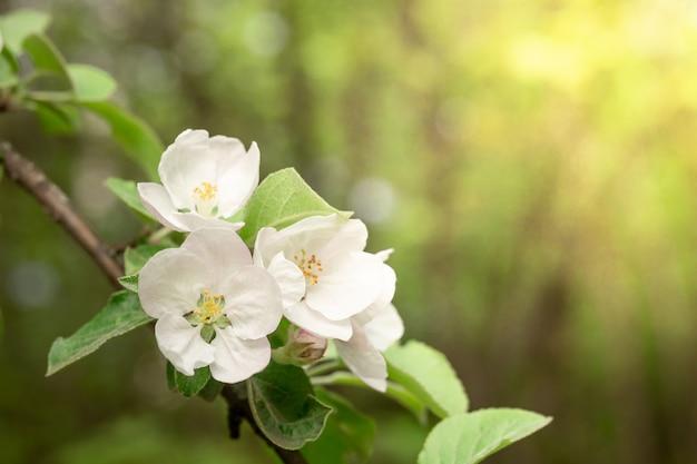 日の出の白いリンゴの花のクローズアップ。カレンダー、本、ポストカードを作成するための画像。セレクティブフォーカス。
