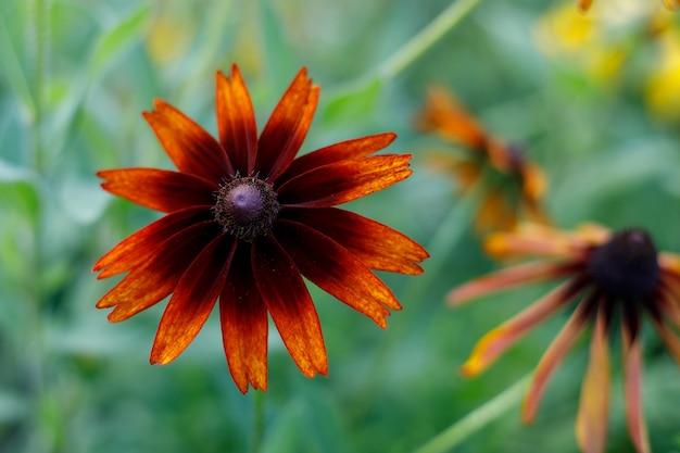 Черноглазая сьюзен цветет в саду
