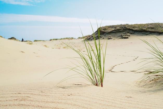 クロニアン・スピットの砂丘の砂に生えている草。砂丘に伸びる男