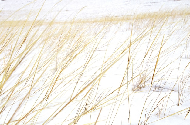 砂丘または雪で覆われたフィールドの乾燥した黄色い草