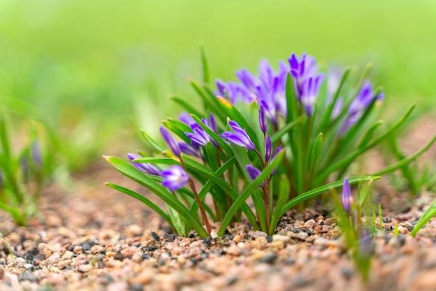 紫色のサフランの花の一般的なビュー。春の時間