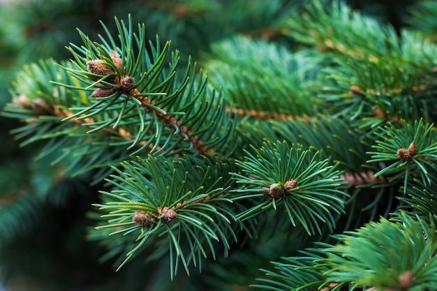 松の木の枝。針の自然な背景。スプルースのテクスチャです。針葉樹の緑のパターン。