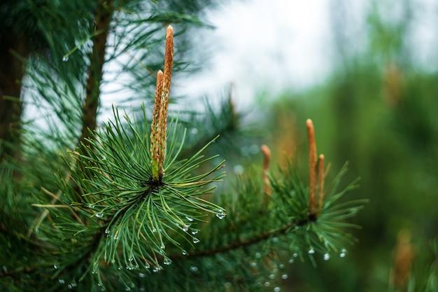 コーンと雨滴の松の枝。自然の背景、春のモミの小枝。