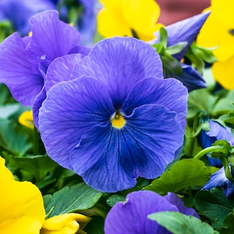 Синие и желтые анютины глазки, фиолетовый гортензий, садовые цветы.