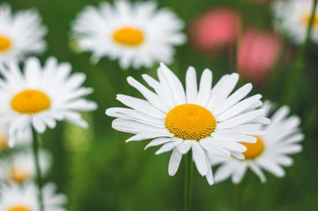 フィールドのヒナギク。牧草地のカモミールの花。