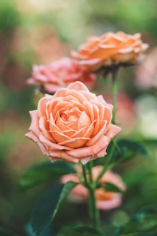 Кустовые розы в саду, красочная природа фон
