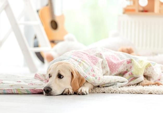 Милый золотистый ретривер покрытый одеялом