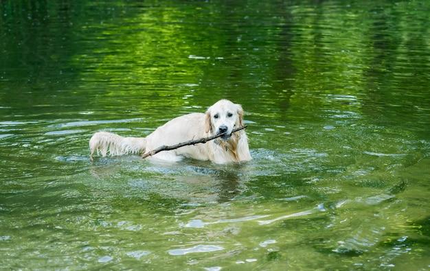 Милый золотистый ретривер, играя в озере