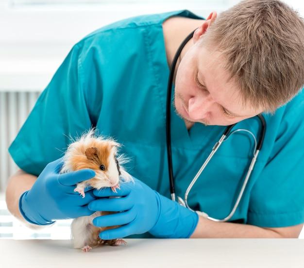 獣医事務所でモルモットを調べる獣医