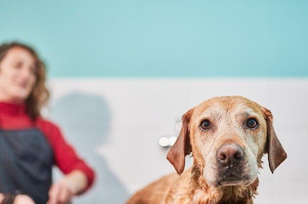 入浴しているラブラドル・レトリーバー犬の面白い頭の肖像画。