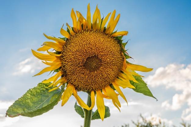 Крупный план цветущего желтого подсолнуха на фоне голубого неба