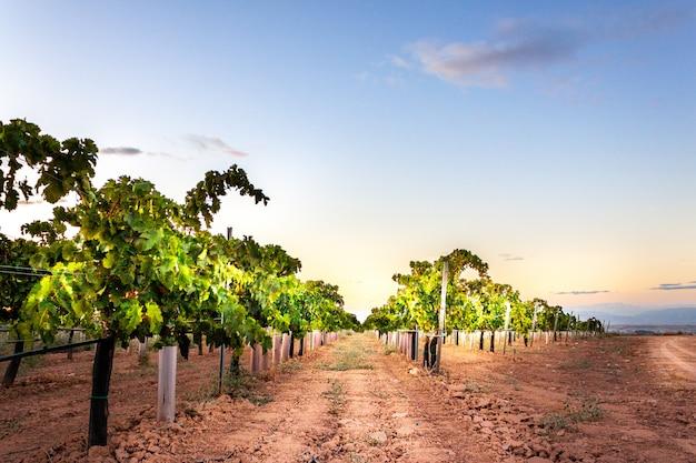 Виноградник на холме на закате. крупный план листьев лоз на заходе солнца. потрясающие закатные лозы. красивый виноградник с закатным небом