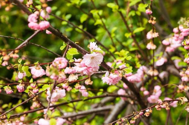 Красивая цветущая японская вишня